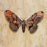 """Brahmaeid Moth 2007 (6"""" x 6"""")"""