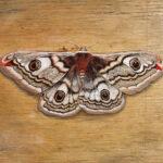 """Emperor Moth 2010 (6"""" x 6"""")"""