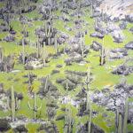 """The Saguaros 2012 (40"""" x 40"""")"""